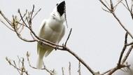 Burung Ini Punya Suara Sekencang Speaker Konser Musik Rock