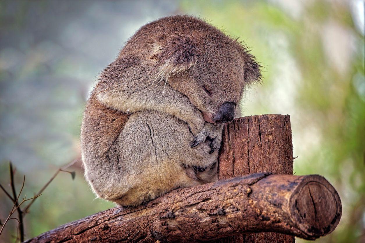 Sleeping Australian native Koala close up