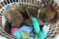 Koala yang berhasil diselamatkan