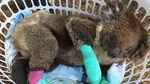 Populasi Koala Unggulan Terancam Punah Akibat Karhutla Australia
