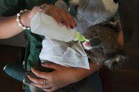 Kasihan Koala