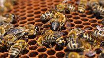 Tren Minum Susu Almond Ternyata Bunuh Miliaran Lebah Madu