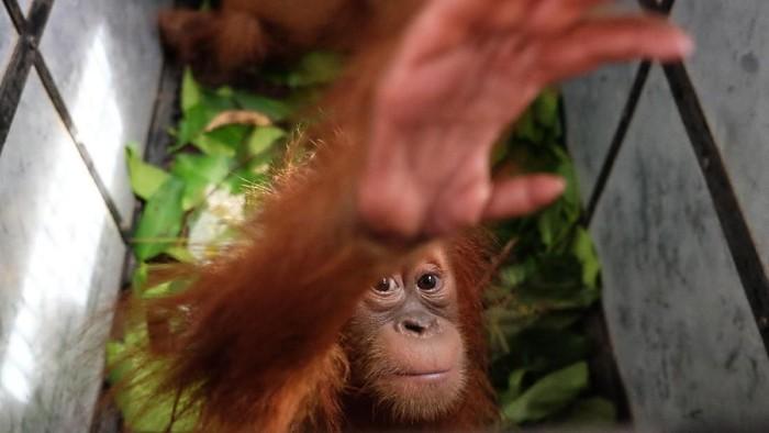 Petugas gabungan mengangkat kandang berisi barang bukti bayi Orangutan Sumatera (Pongo abelii) usai gelar kasus perdagangan satwa dilindungi, di Balai Besar Taman Nasional Gunung Leuser (BBTNGL) di Medan, Sumatera Utara, Jumat (10/1/2020). Petugas gabungan terdiri dari BBTNGL, Balai Pengamanan dan Penegakan Hukum Lingkungan Hidup dan Kehutanan Wilayah Sumatera, BBKSDA Sumut dan Yayasan Orangutan Sumatera Lestari–Orangutan Information Centre (YOSL-OIC) berhasil menyita dua bayi Orangutan Sumatera yang akan dijual pemburu melalui media sosial. ANTARA FOTO/Irsan Mulyadi/ama.