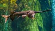 Raja Ikan Air Tawar yang Dinyatakan Punah, Rasa Dagingnya Enak