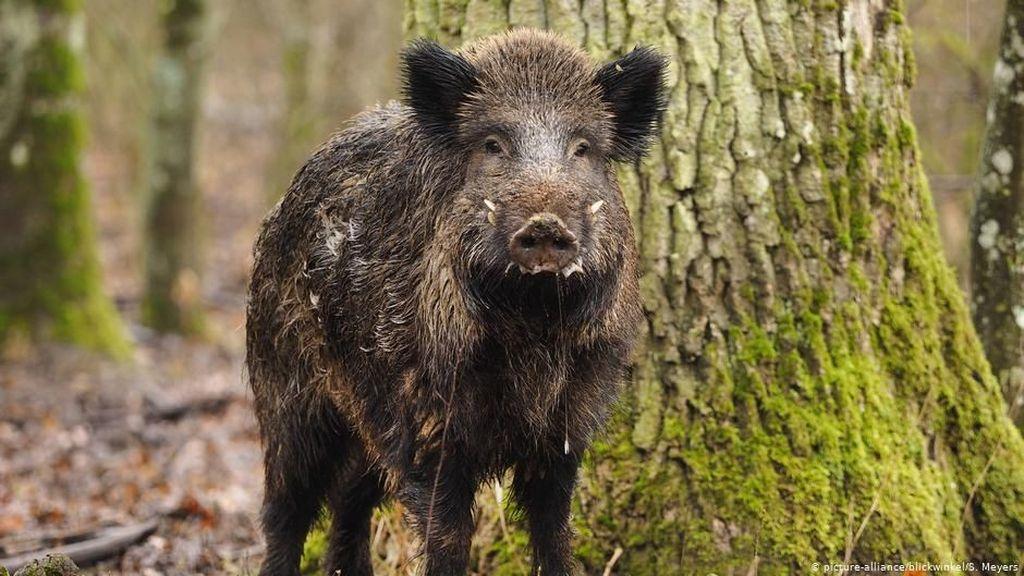 Wabah Flu Babi Afrika Ditemukan Dekat Perbatasan Jerman