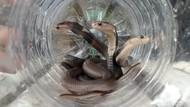 Selama 2 Bulan 48 Kobra Ditangkap di Seputar Bengkel di Klaten Ini