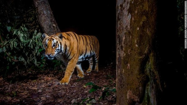 Kamera jebakan memungkinkan para peneliti untuk secara diam-diam memotret satwa liar, sepertiseekor harimau di Taman Nasional Bardia, Nepal ini.Wildlife Insights diluncurkan pada bulan Desember sebagai basis data kamera perangkap terbesar di dunia, menampung lebih dari 4,5 juta gambar (Foto: CNN)