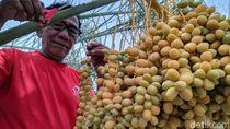 Masyaallah, Kurma Nabi Tumbuh dan Berbuah di Ponorogo