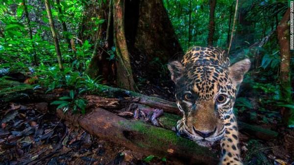 Seekor jaguar difoto di dalam Cagar Alam Nouragues, Guyana Prancis. Foto-foto ini dan informasi berharga, biasanya hanya disimpan di hard drive peneliti, tidak dapat dilihat orang lain (Foto: CNN)