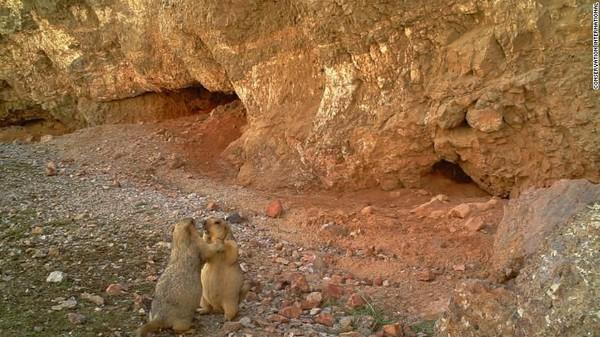 Foto di situs Wildlife Insights akan tersedia untuk para peneliti dan masyarakat umum. Sepasang marmut tertangkap kamera perangkap di Kabupaten Akesai, China (Foto: CNN)