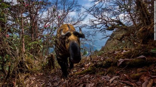 Takin di Distrik Trongsa di Bhutan. Takin juga dikenal sebagai chamois atau kambing gnu. Situs Wildlife Insights menggunakan Artificial Intelligence (AI) yang dirancang oleh Google untuk mengatasi masalah utama, yakni foto kosong (Foto: CNN)