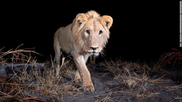 Singa jantan dari wilayah Zambezi, Namibia. AIdi Wildlife Insights dapat memverifikasi jika terdapat foto kosong akan dihapus.Jika ada binatang dalam gambar, AI akan mengidentifikasi spesies itu. Saat ini, AI sudah mengenali sekitar 450 spesies (Foto: CNN)