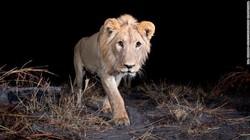 Sisi Imut Singa yang Bikin Gemas!