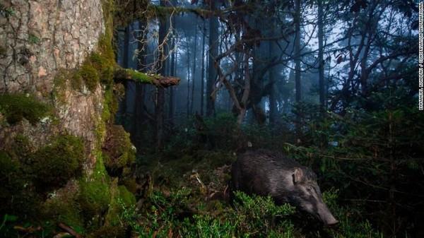 Babi hutan di Distrik Trongsa, Bhutan.Wildlife Insightspunya langkah-langkah untuk memastikan informasi ini tidak sampai ke tangan yang salah, terutama bagi pemburu (Foto: CNN)
