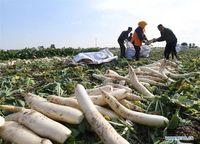 Petani Ini Rugi Rp 576 Juta karena Tetangganya Menjarah 500 Ton Lobak