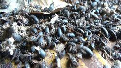 Serangga Misterius Serang Rumah Warga di Situbondo
