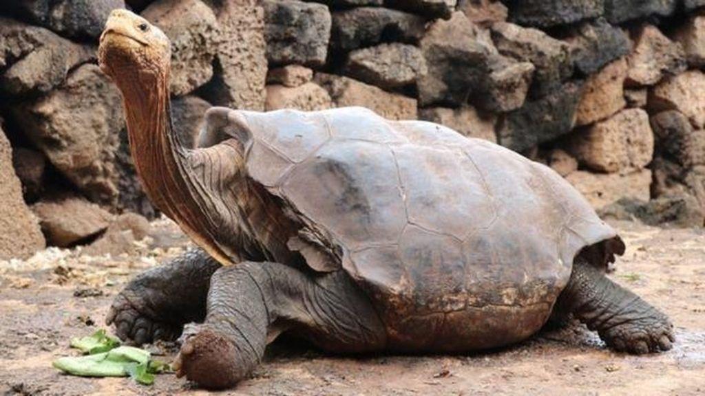 Rajin Bercinta, Diego Kura-kura Selamatkan Spesiesnya