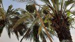 FOTO: Pohon Kurma Berbuah Lebat di Tasikmalaya yang Curi Perhatian