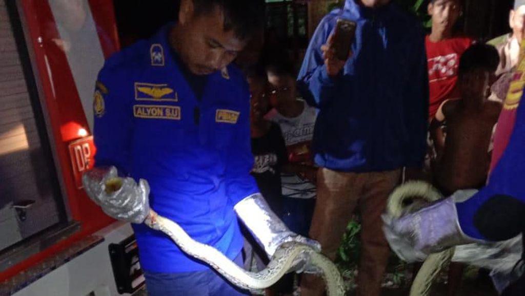 Damkar Luwu Timur Evakuasi Piton 2,5 Meter dari Permukiman Warga