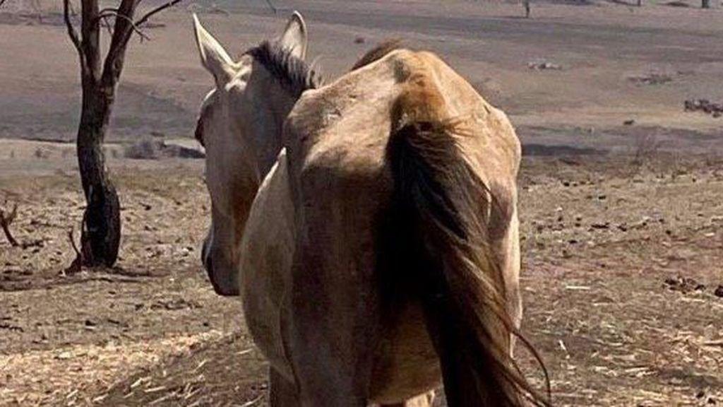 Puluhan Kuda di Brisbane, Australia Mati karena Kekurangan Gizi