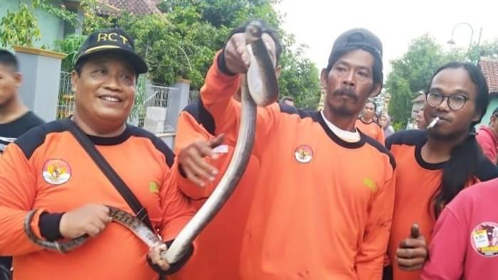 Foto: Induk ular kobra yang ditemukan relawan RCTD Klaten Timur dan warga di Tepi Sungai Cino