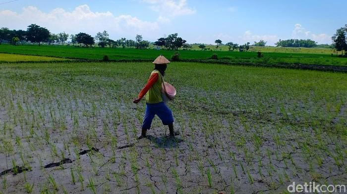 Seorang petani sedang melakukan pemupukan/Foto: Sugeng Harianto