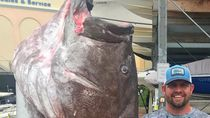Bawa Ayam Mentah ke Resto Hot Pot hingga Temuan Ikan Kerapu 158 Kg