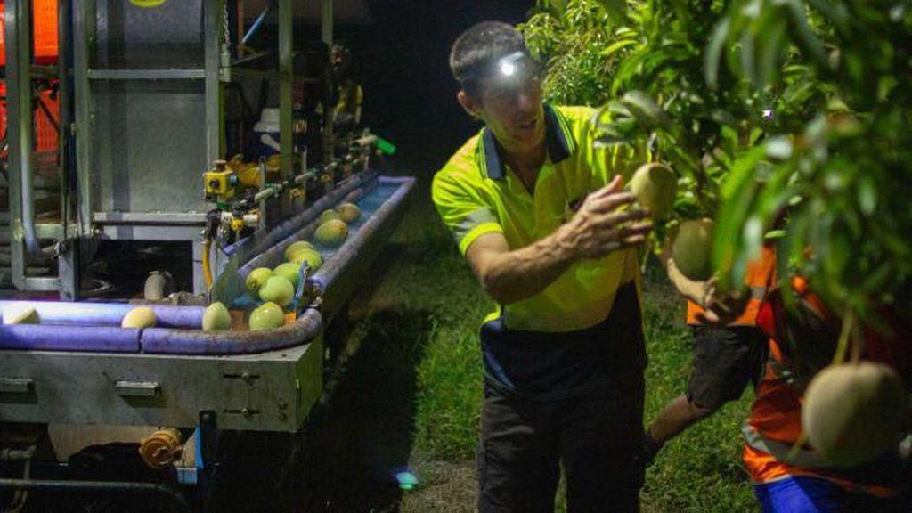 Australia Ubah Sistem Pengupahan, Petani dan Pemetik Buah Keberatan
