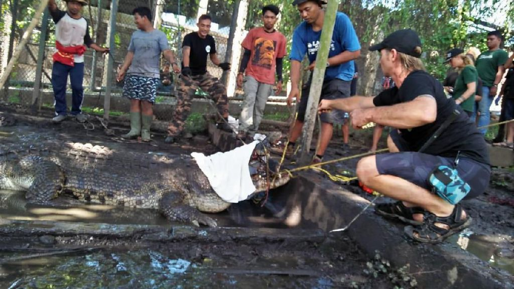 BKSDA Bali Lepas-Liarkan 14 Buaya Muara ke Taman Nasional Way Kambas