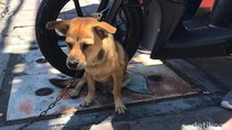 Viral Dua Pria Berboncengan Motor di Denpasar Tega Seret Anjing
