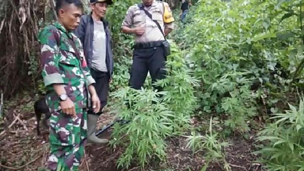 Petugas Gelar Patroli Antisipasi Ladang Ganja Lain di Gunung Guntur Garut