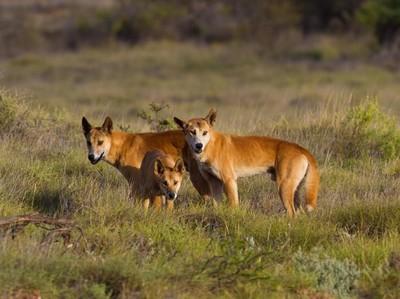 Jangan Beri Makan Dingo di Australia, Bisa Didenda Rp 20 Juta