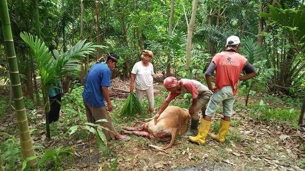 Harimau Terkam Ternak Warga di Lubuk Basung Sumbar