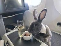 Disebut 'Crazy Rich', Kelinci Imut Ini Pamer Gaya Makan Mewah di Pesawat