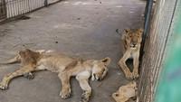 Viral Singa Kurus dan Kurang Gizi, Netizen Langsung Beraksi