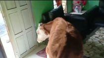 Viral Lembu Masuk Rumah Warga Medan, Begini Ceritanya