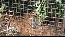 Harimau Masuk Perangkap di Muara Enim, Gubernur Sumsel Lega
