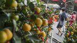 Pohon Jeruk Kim Kit Laris Manis Jelang Imlek