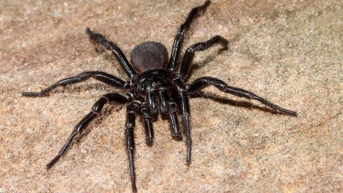 Close up of Sydney funnel-web spider