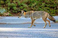 Koyote banyak ditemukan di wilayah Amerika Utara.