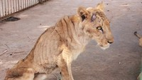 Potret Miris Lima Singa Kurus Kurang Gizi, tapi Akhirnya Hepi