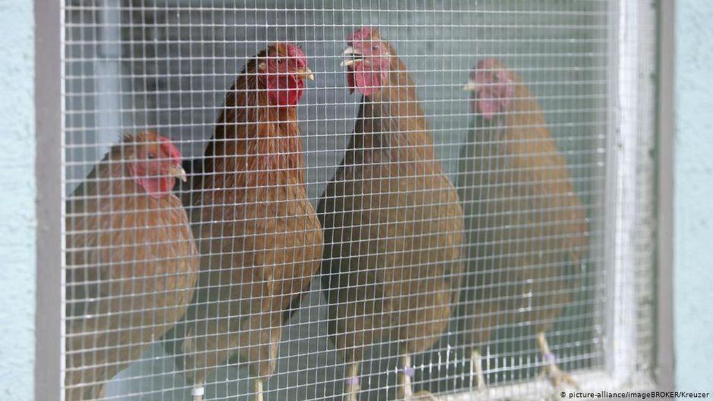 Setelah Menyebar di Eropa Timur, Kasus Flu Burung Ditemukan di Jerman