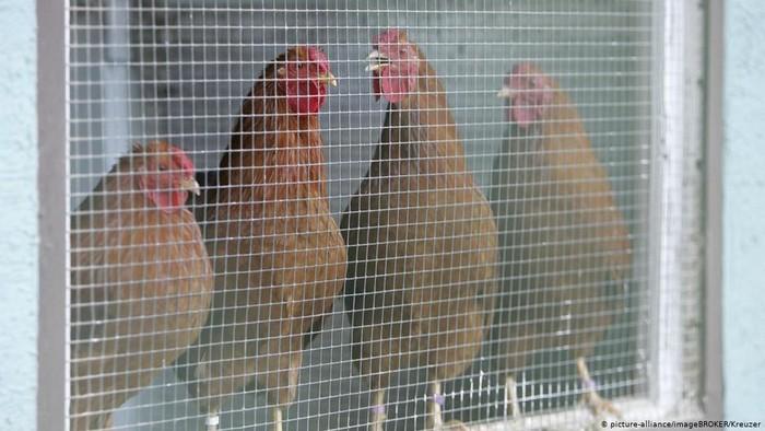 Setelah Menyebar di Eropa Timur, Kasus Flu Burung Juga Ditemukan di Jerman
