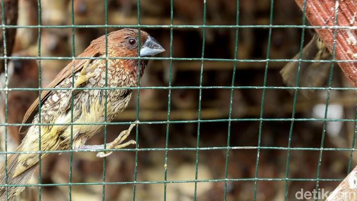 Burung pipit jadi salah satu hewan yang paling dicari menjelang Imlek. Meningkatnya permintaan membuat para pedagang mulai gelar lapak berjualan burung pipit.
