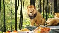 Uji Nyali! Di Sini Bisa Sarapan Bareng Macan hingga Singa