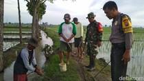Hama Tikus Merajalela di Madiun, Polisi Bantu Petani Gropyokan