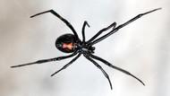 10 Laba-laba Paling Berbisa di Dunia
