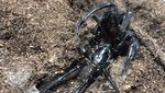 Penampakan Laba-laba Paling Beracun yang Mengancam Australia