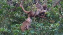 Kelebihan Populasi Diduga Penyebab Monyet Serbu Kampung di Kuningan