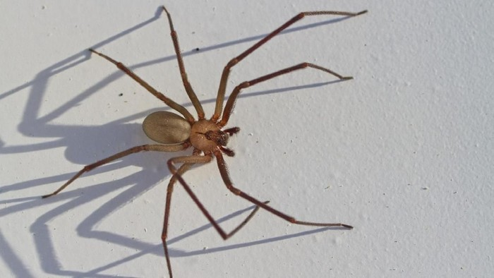 Macro; close-up; black spider; a spider originating from South Africa; natural environment; hunting spider